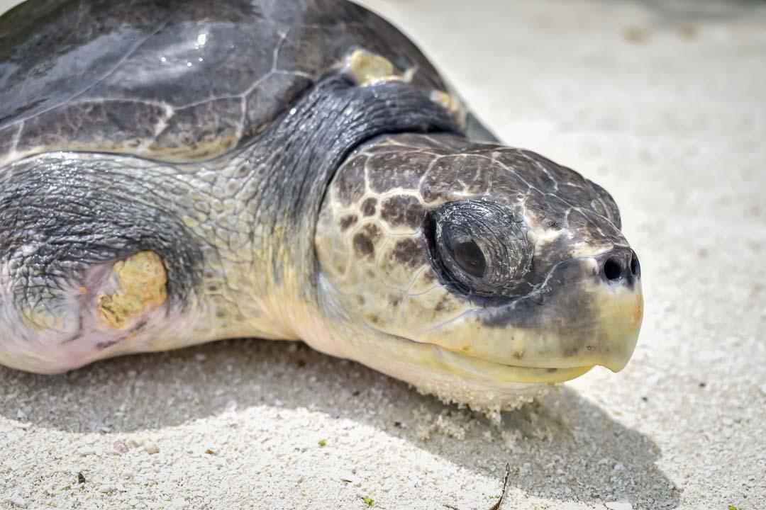 Trooper sea turtle centre Marine Savers Maldives