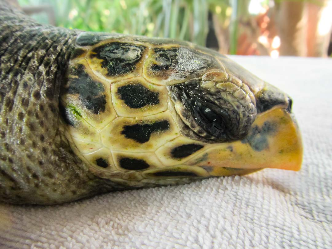 Rescue Hawksbill turtle Bubbles Marine Savers Maldives (7280)