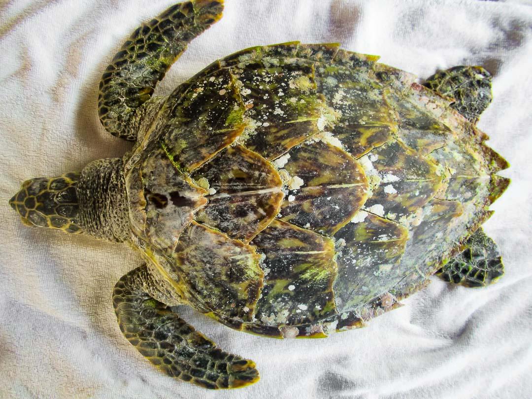 Rescue Hawksbill turtle Bubbles Marine Savers Maldives (7284)