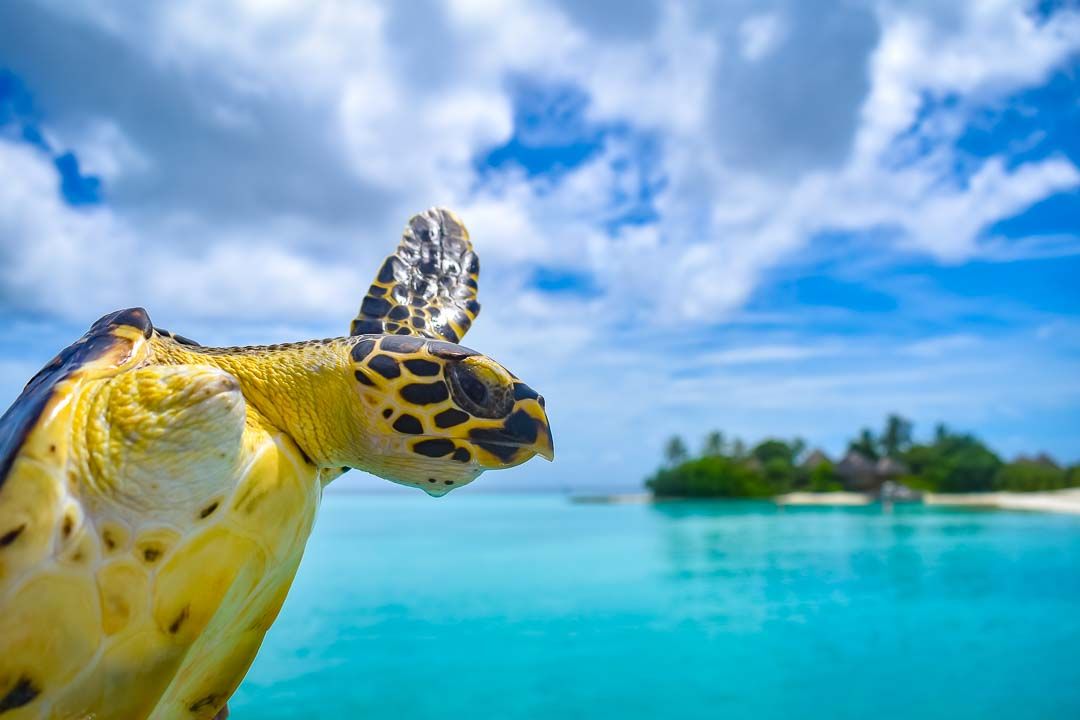 Rescue Hawksbill turtle Renee release Marine Savers Maldives (1)