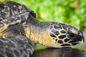 Shelby sea turtle centre Marine Savers Maldives (Shelby)