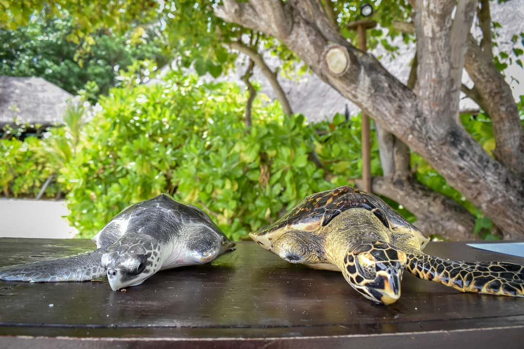 Snoopy (left) and Ranee (right) sea turtle centre Marine Savers Maldives (1)