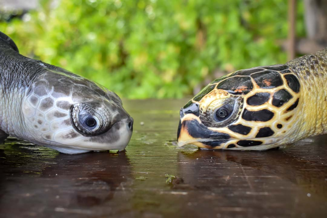 Snoopy (left) and Ranee (right) sea turtle centre Marine Savers Maldives (3)