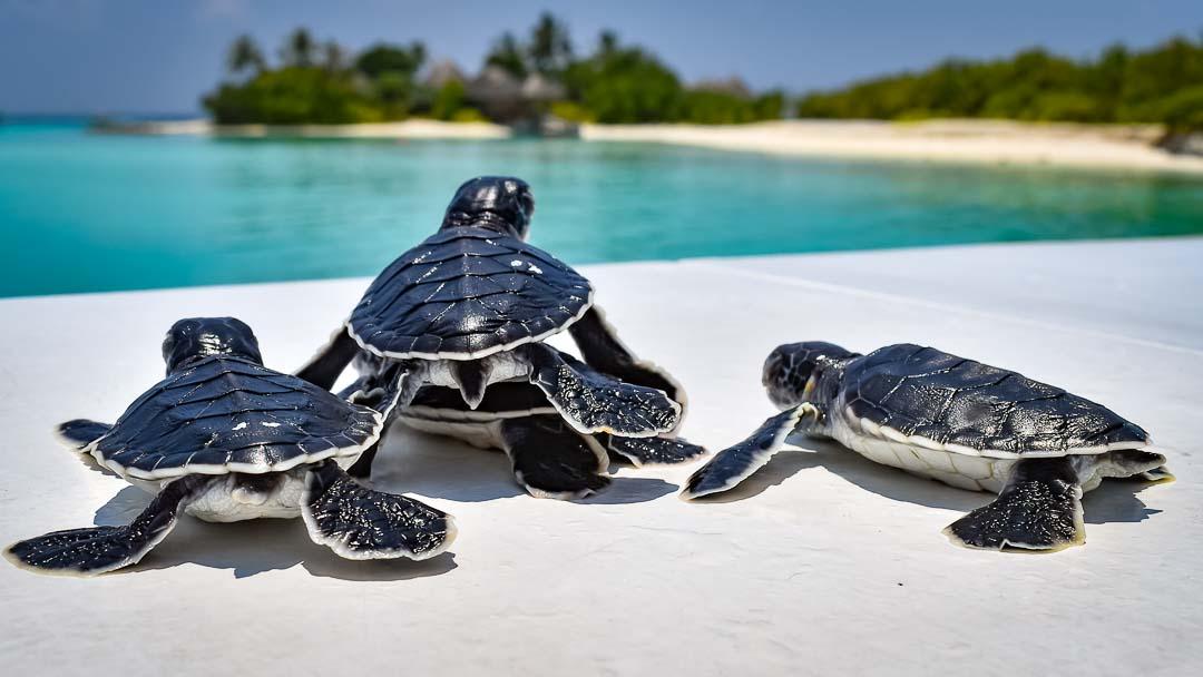 Green Turtle hatchlings Head Start Landaa (Apr) Marine Savers Maldives