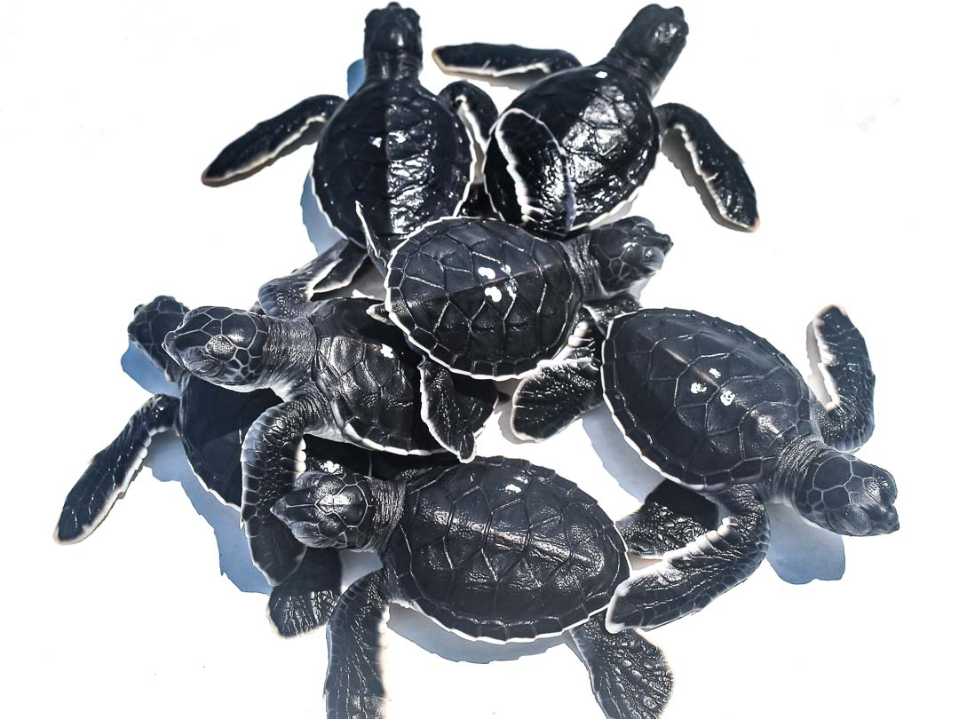 Green turtle hatchlings Maldives Marine Savers (40) 1080