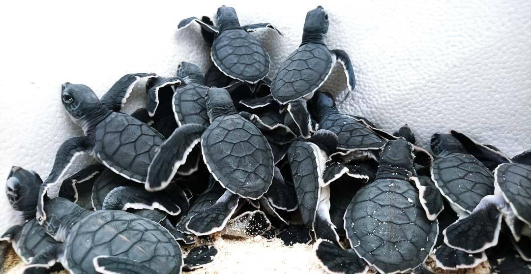 Green turtle laying eggs at Landaa Giraavaru, Maldives Marine Savers