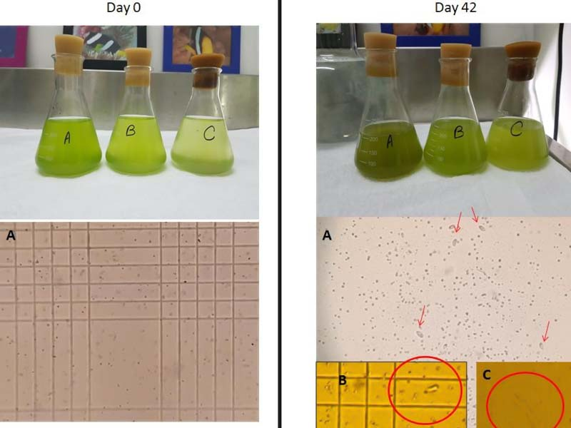 Fish Lab – microalgae contamination experiment (ciliates highlighted in red) [LG 2018.05] (1)