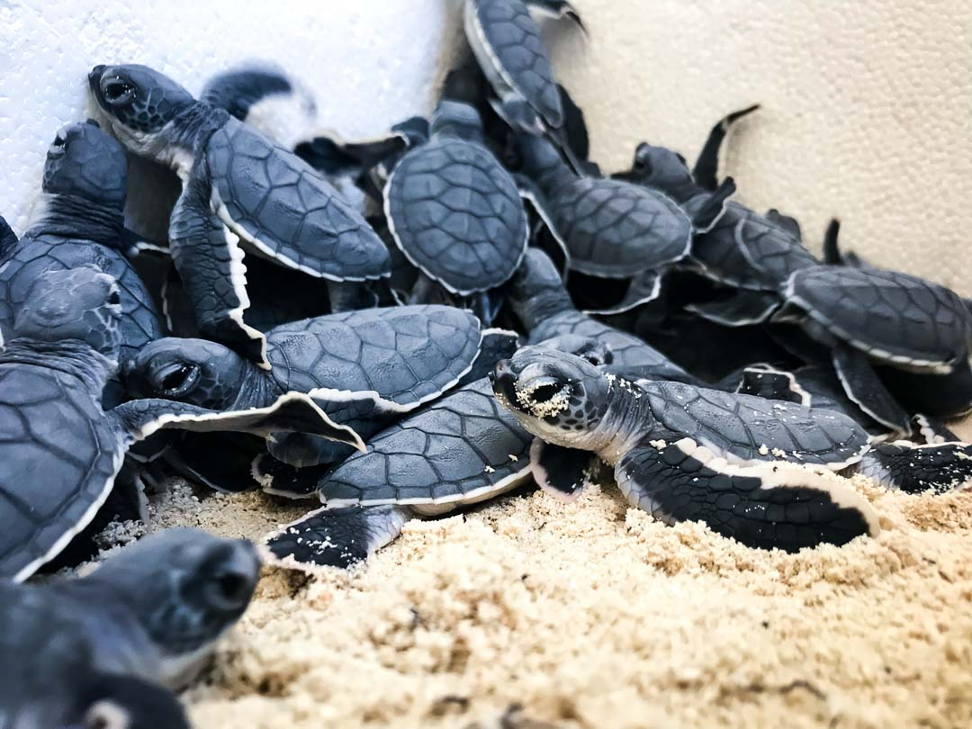 Green Turtle hatchlings emerging from nest [19-May-18] Marine Savers Maldives (4)