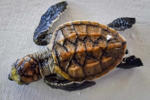 Hawksbill turtle hatchlings N016 Marine Savers Maldives (N016 VO)