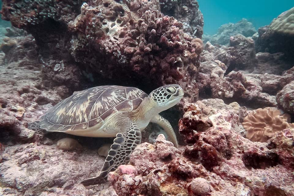 Turtle ID – Green Turtle [CM.0160] re-sighting Maldives Marine Savers [KH 2018.05]