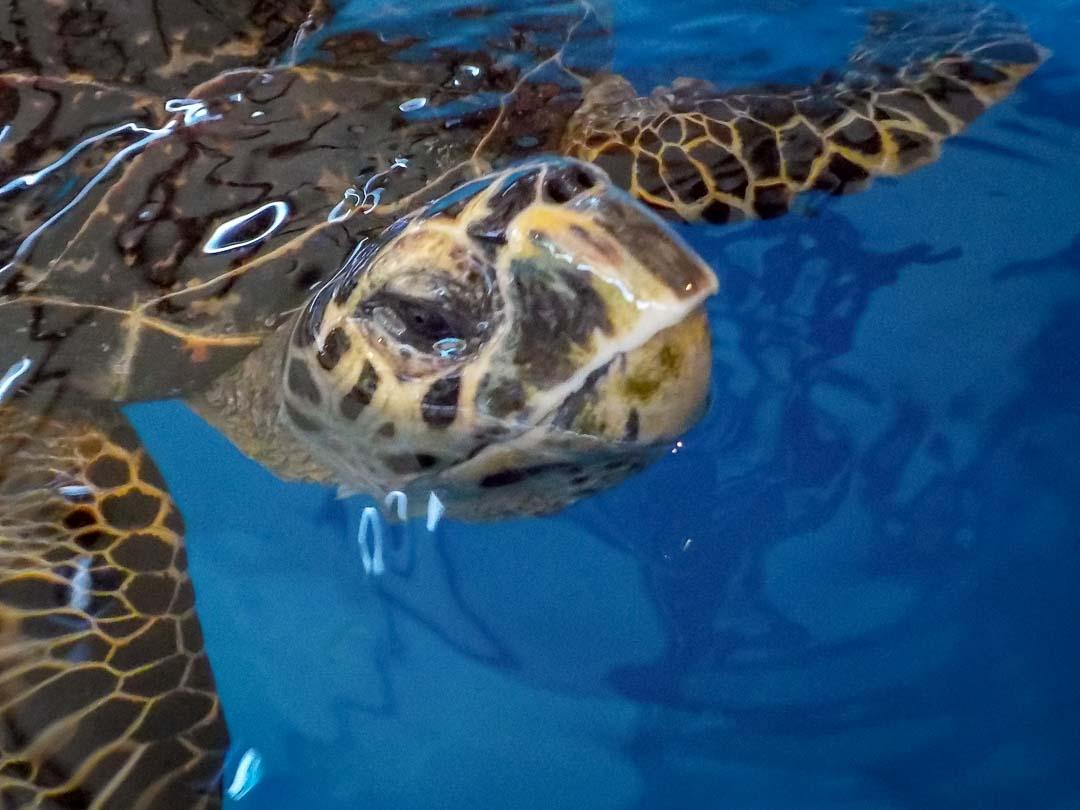 Shelby sea turtle centre Marine Savers Maldives