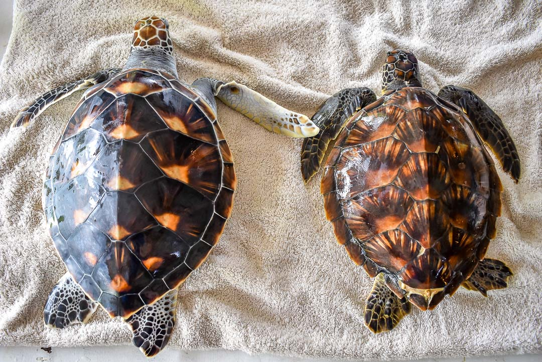 Indra (right) alongside a Green Turtle