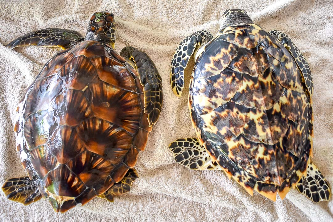 Indra (left) alongside a Hawksbill turtle