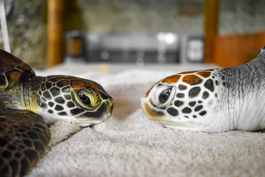 Facial profile of Indra (left) and a Green Turtle