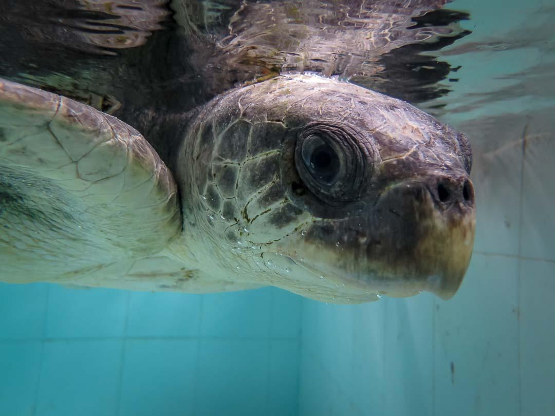 RB.LO.133 Varugadha (2) turtle rehabilitation Marine Savers Maldives