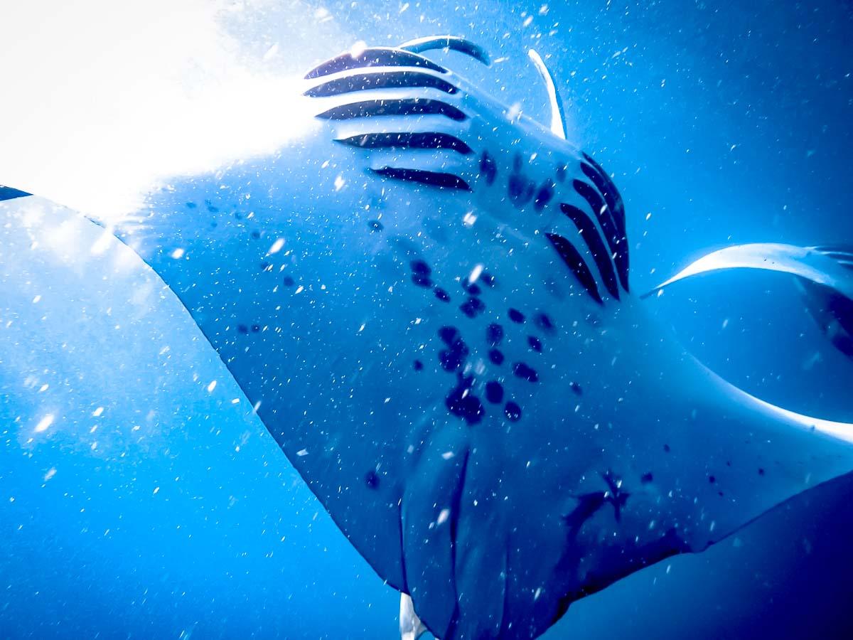 Manta rays - Marine Savers Maldives