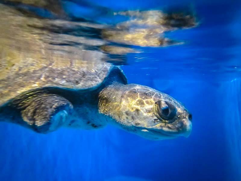 Frisbee rescue Olive Ridley turtle Marine Savers Maldives (2)