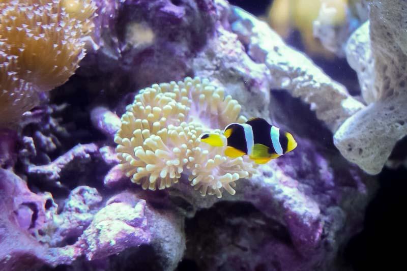 Marine aquarium - territorial Clark's anemonefish