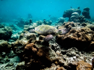 Wild Hawksbill turtle on the reef [photo: Michael Frey] (Magical Manta Months!)
