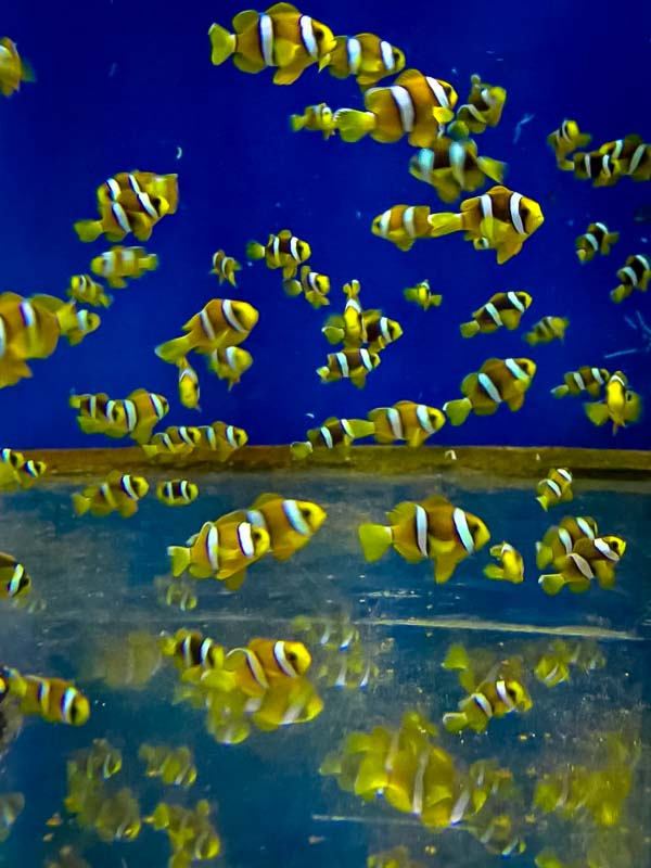 Lea's Marine Biology internship Maldives (8) juvenile clownfish