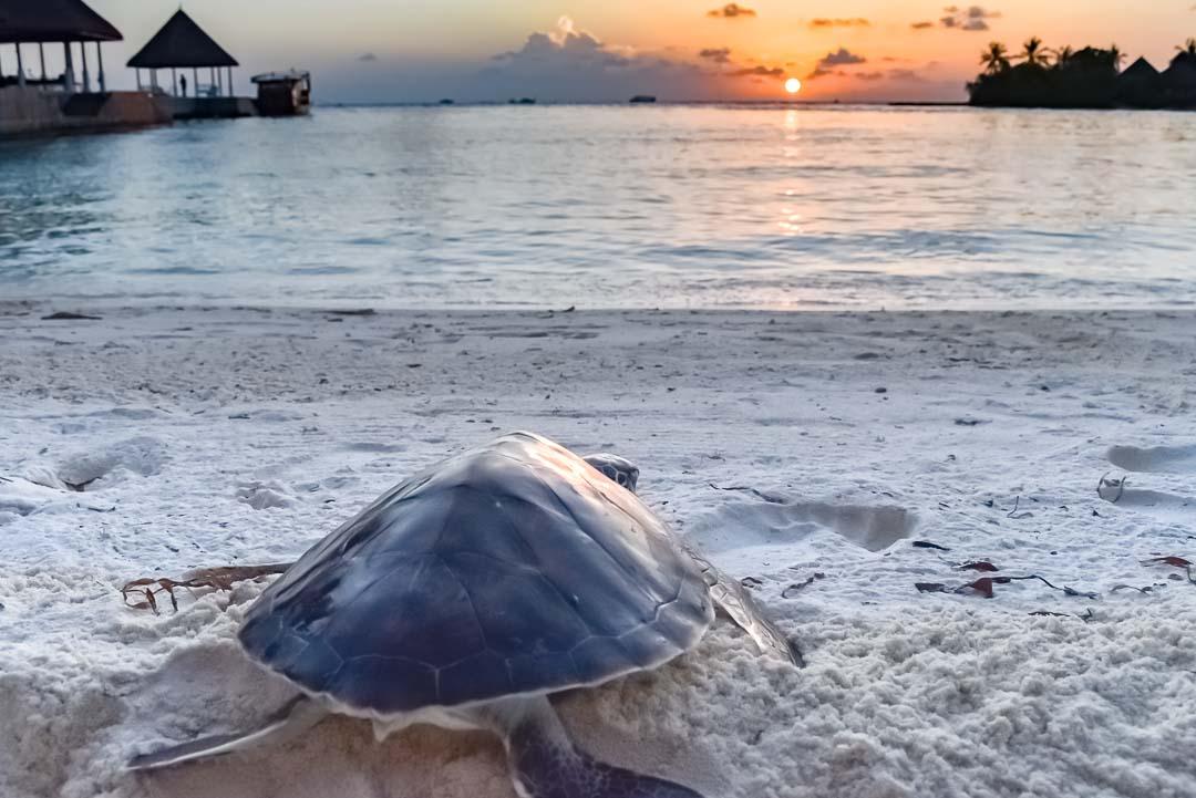 Turtle growth graph [CM124-5] Marine Savers Maldives