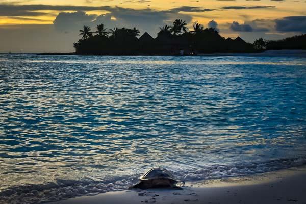 Sandie juvenile Olive Ridley Marine Savers Maldives release (3)