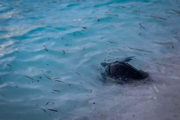 Sandie juvenile Olive Ridley Marine Savers Maldives release (8)