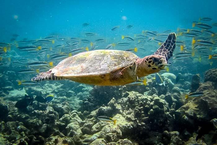 Saphire's Marine Biology internship Maldives (1) wild turtle