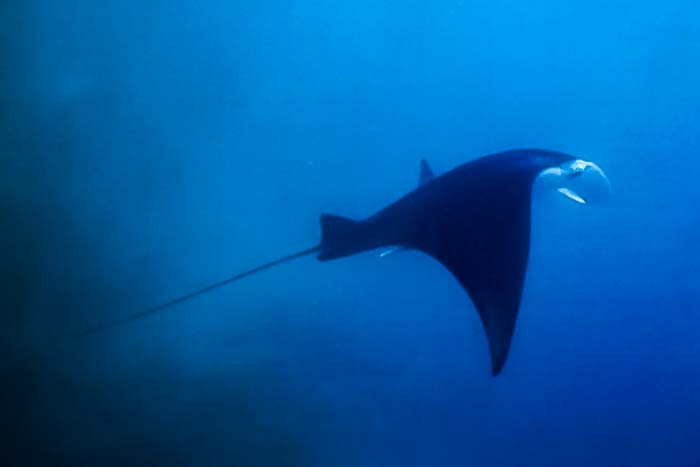 Saphire's Marine Biology internship Maldives (3) manta