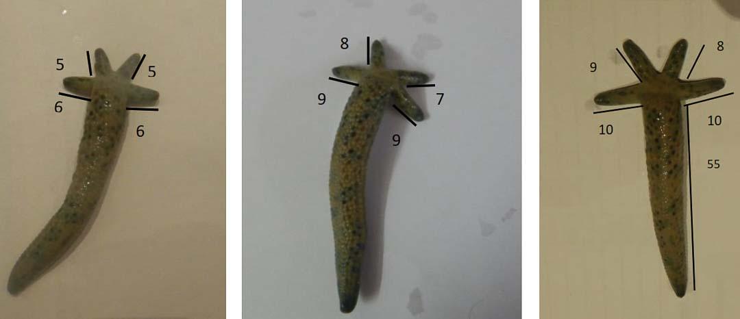 Aquarium - regenerating starfish (Linckia laevigata) day1,18,26 [KH 2018-10]