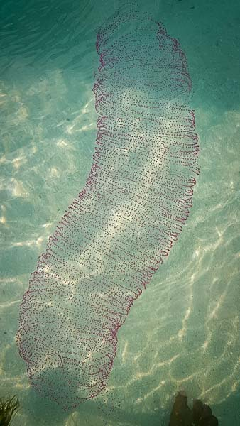 Eggs of the Giant Squid - Marine Savers Maldives