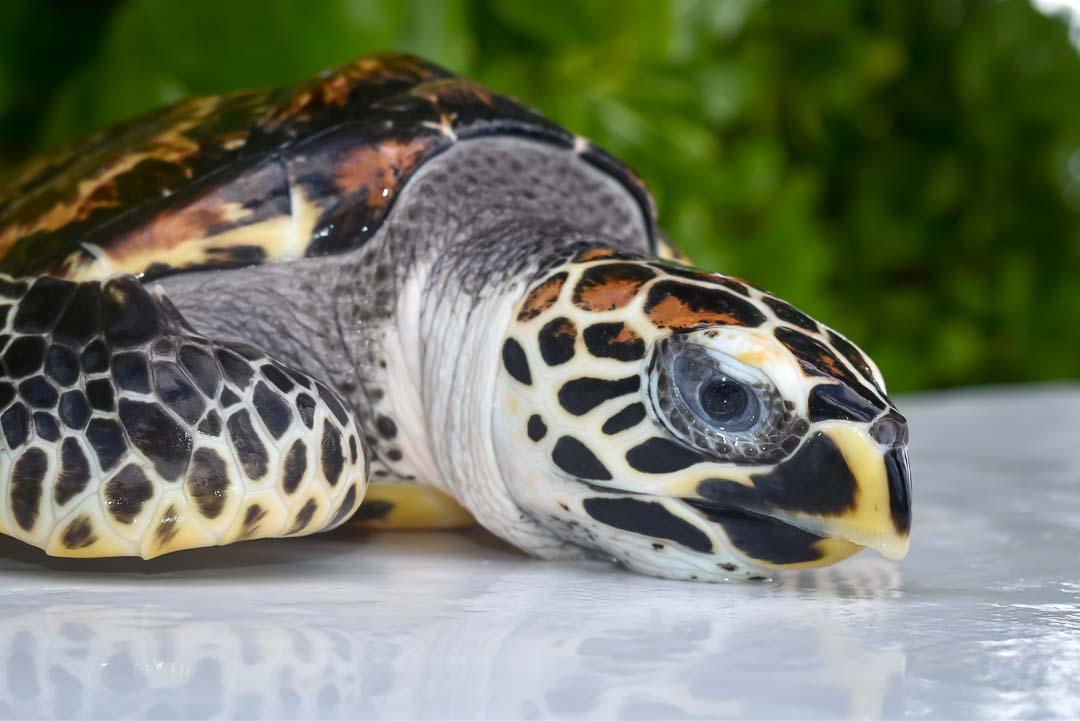 Ethan – Hawksbill turtle Marine Savers Maldives (4)