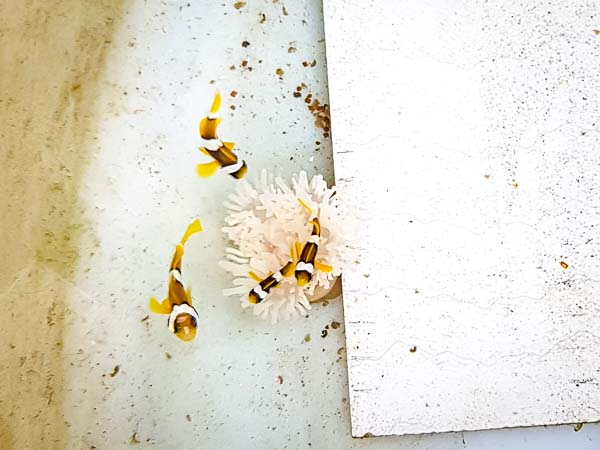 Fish Lab Anemone bleaching expt Marine Savers Maldives