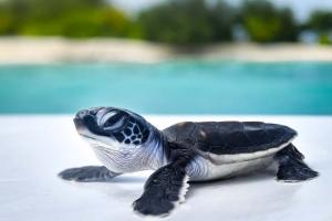 Green turtle hatchlings (N039) Dusit Thani Maldives (N039 DT)