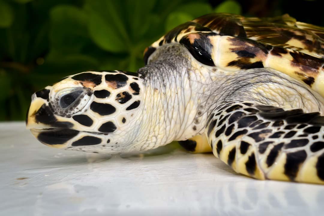Pine Cone – Hawksbill turtle juvenile Marine Savers Maldives (1)