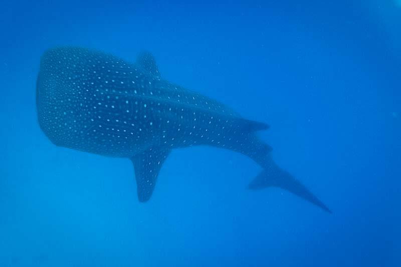 Saphire's marine biology internship Maldives (2) whale shark