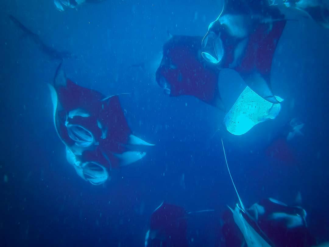 Saphire's marine biology internship Maldives (5) mantas2