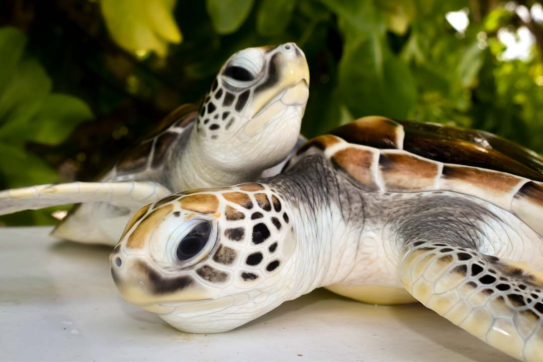 Smash and Chilli – Green turtles hand reared Maldives (4)