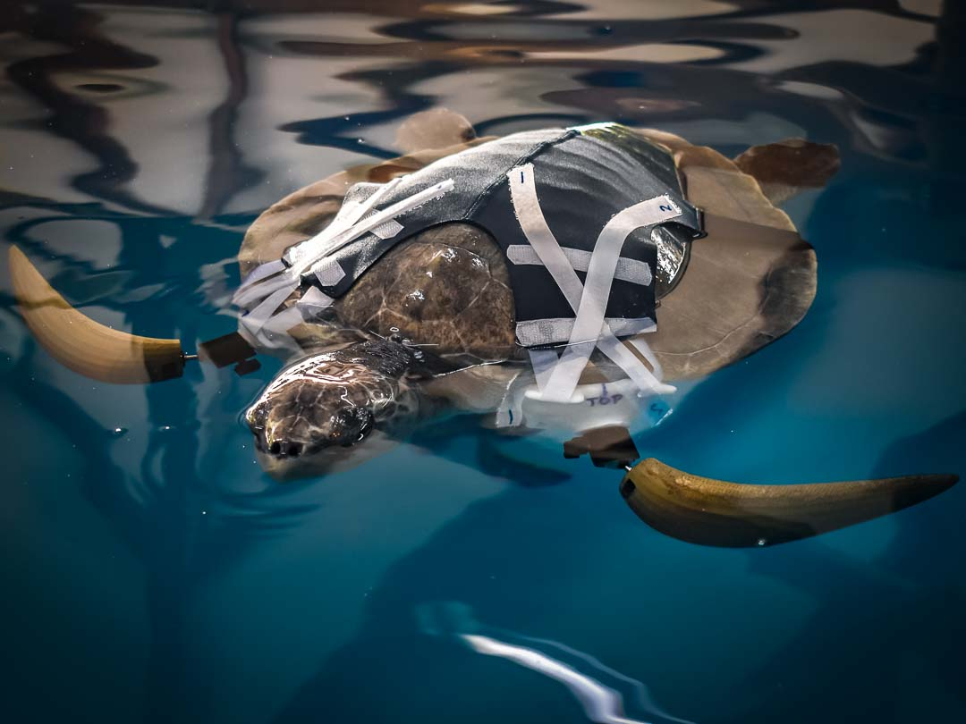 Trooper - Olive Ridley sea turtle with prosthetic flippers [Marine Savers Maldives]