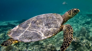 Turtle ID – wild hawksbill at Athuruga Ari Atoll, Maldives (Marine Savers Monthly Updates)