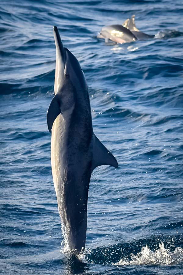 Dolphin identification project Marine Savers Maldives (0125)