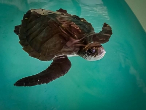 Flossy rescued juvenile Olive Ridley turtle Maldives (Flossy)