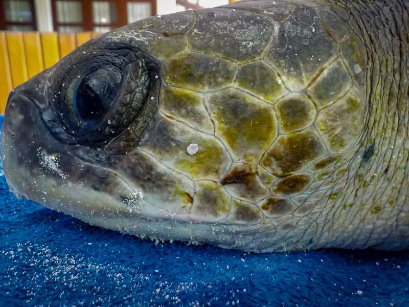Sandie juvenile Olive Ridley turtle RB.LO.140 (15)