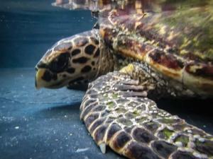 Mia rescue Hawksbill turtle Marine Savers Maldives (3) (Mia)