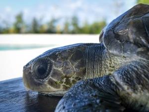 RB.LO.142 juvenile Olive Ridley turtle Marine Savers Maldives (Nonamee)