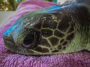 Ruby juvenile Olive Ridley turtle Marine Savers Maldives (Ruby)