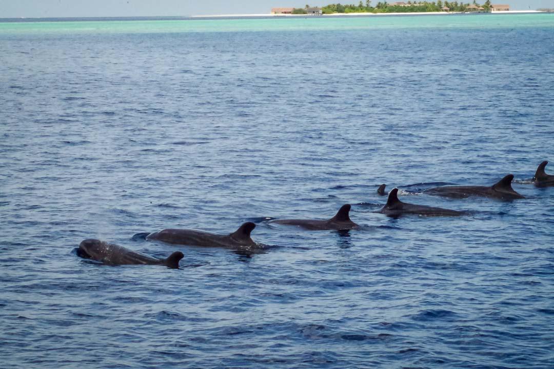 Saphire Marine Biology Internship Maldives (Pilot Whales)