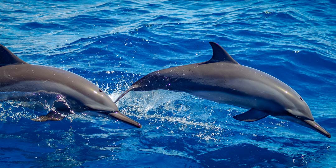 Saphire Marine Biology Internship Maldives (dolphins)