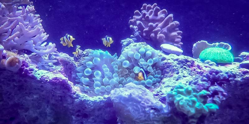 Aquarium-2 Clark's anemonefish in bubble-tip anemone