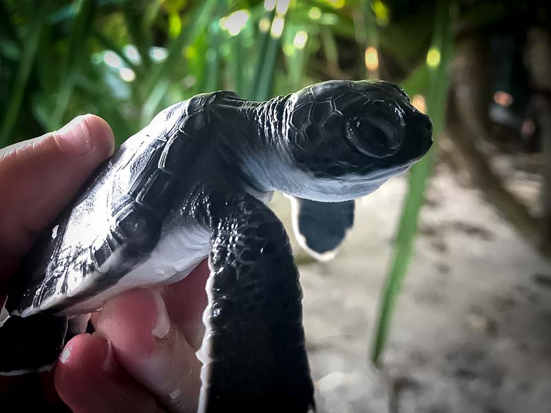 Juliet – Marine Savers internship Maldives (4) hatchling